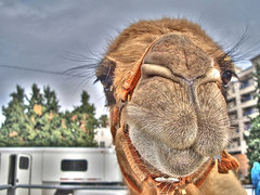 camel photoshoot #2 (Kris Kros) Tags: california ca usa public animal cali photoshop photography la us losangeles interestingness high cool interesting pix photoshoot dynamic cs2 ps camel socal kris range hdr jjj kkg photomatix pscs2 kros kriskros kk2k abigfave kkgallery