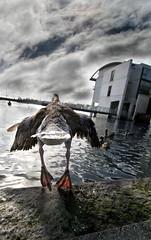 Lift off (Nekominn) Tags: city deleteme4 bird nature water birds animal wow iceland duck savedbythedeletemegroup air myfav reykjavik goose saveme10 1500v60f scoreme50 specnature