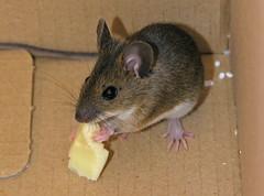(Abra K.) Tags: animal mouse prey specnature
