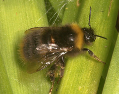 """Bumble Bee (Bombus Hortorum)(1) • <a style=""""font-size:0.8em;"""" href=""""http://www.flickr.com/photos/57024565@N00/163021678/"""" target=""""_blank"""">View on Flickr</a>"""