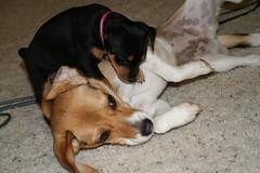 Lily & Daisy (ahhyeah) Tags: dog beagle puppy pin lily canine daisy doggy pup min minpin minature pincher chocolatebeagle 13inch 13