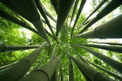 Bamboo Forest (Pat Rioux) Tags: china park chinese wideangle bamboo poet chengdu sichuan dufu sigma1020 dufucaotang