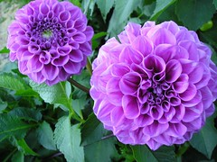 My garden (Lyubov) Tags: dahlia flowers nature beautiful beauty garden ilovenature december blossom bloom blossoming colourful catchycolor naturephotography calendarshots thebiggestgroup