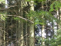 DSCN7501 (Gianluigi Roda / Photographer) Tags: lateautumn trees fir woods