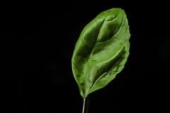 Hoja Albahaca 3 (cuartocolor) Tags: cuartocolor verde albahaca basil green leaf