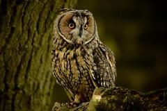 The Lookout......... (klythawk) Tags: longearedowl asiootus tree stare nature autumn birdofprey brown orange green beige black white nikon d7100 300mmpf newsteadabbey nottinghamshire klythawk