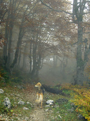 Lost in the misty wood (eyair) Tags: forest wood dog fog mist montenegro durmitor      autumn  fall ashmashashmash