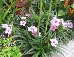 Ruellia Brittoniana 'Bonita' or 'Katie Pink' (Dwarf Pink Ruellia, Dwarf Mexican Petunia 'Pink') in our flower bed