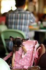 Chihuahua (Pay No Mind) Tags: california pink dog chihuahua silly d50 bag puppy miniature losangeles nikon little farmersmarket small beast nikkor 50mmf18d yappy accessory context escaped