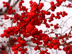winterberries (Muffet) Tags: winter red macro nature catchycolors ilovenature flora berries seasons massachusetts top20 acton interestingness9 ilex winterberries vthg