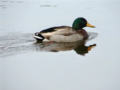 tardy (salma1) Tags: water birds ducks rivers mallards waterfowls waterlife salma1
