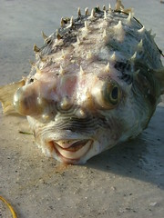 Zombie History: Pufferfish (photo courtesy spakattacks via Flickr)