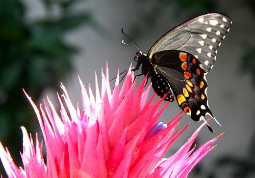 Swallowtail on Bromeliad