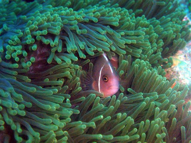 A. periadon. Pink skunk clownfish