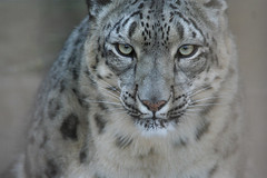 Snow Leopard (dbcnwa) Tags: topf25 animal topv111 cat mammal zoo interestingness fantastic eyes topv333 colorado 100v10f leopard coloradosprings top20hallfame wildcat animalplanet snowleopard zoology exoticcat cheyennemountainzoo animaleyes explore03jan06 interestingness264 i500 thebiggestgroup specanimal