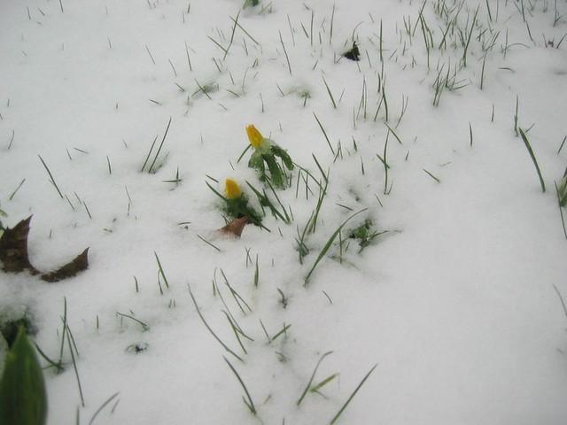 Voorjaarssneeuw
