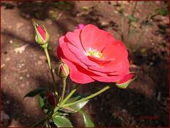 To Tatiana!!!! ( Graa Vargas ) Tags: orange flower portugal dedication rose topv111 single happybirthday bud tatianasapateiro botanicalgarden madeira funchal interestingness379 i500 graavargas 2006graavargasallrightsreserved 95306120310