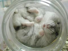 Lady in jar (EricFlickr) Tags: pet animal taiwan hamster