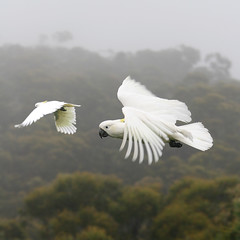 Cockies   Wentworth Falls, The Blue Mountains, Australia. (simon1662) Tags: nature birds wow bravo australia bluemountains cockatoo cockies wentwothfalls abigfave