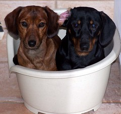 Doggies in the basket... (Buikschuivers) Tags: friends dog pet pets brown black dogs goofy sam brothers dachshund blackdog browndog browndogs daschund teckel teckels buikschuivers natteneuzen