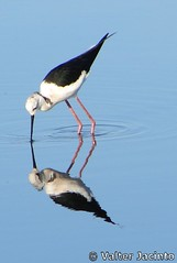 Pernilongo // Black-winged Stilt (Himantopus himantopus) - by Valter Jacinto | Portugal