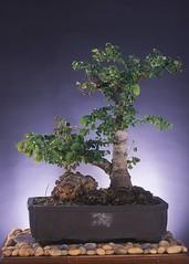 109 (hvprasad) Tags: plant indian bonsai mysore ganapathy penjing swamiji sachchidananda bpnsai