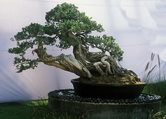 168 (hvprasad) Tags: plant indian bonsai mysore ganapathy penjing swamiji sachchidananda bpnsai