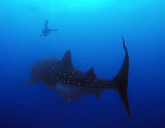 wsdvr1733w (gerb) Tags: blue topf25 beautiful topv111 1025fav 510fav wow shark topv555 topv333 underwater topv1111 topv999 scuba fv5 loveit galapagos pi topv777 diver whaleshark d100 topv3333 animalplanet hammerhead rhincodontypus wonderworld 999v9f 1500v60f pfo 3waychallenge 3wc tvx 3w5 worldbest anawesomeshot top20blue photofaceoffwinner pfosilver