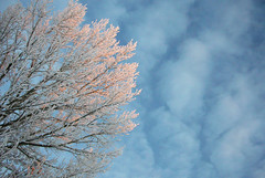 a (winter) touch of pink (Kevin Steele) Tags: morning trees winter snow topf25 mrjackfrost top20winter hoarfrost lookup saskatoon saskatchewan
