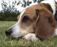 Janka (atikalz) Tags: beagle dog tricolor cute