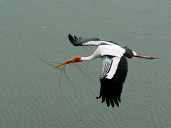 Stork Taking 1 of 5 (Pandiyan) Tags: bird topf25 water topc25 fauna wow ilovenature bigbird topv555 topv333 bravo flight waterbird pandiyan panning twigs stork paintedstork mycterialeucocephala moevment vedanthangal specanimal