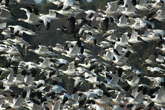Snow Geese, Cambridge, Maryland Jan. 12 (ozoni11) Tags: nature birds ilovenature geese duck maryland explore wetlands waterfowl snowgeese featheryfriday i500 interestingness463 theworldthroughmyeyes