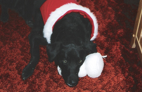 black labrador - Christmas