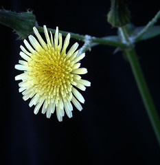 Pale Yellow Platter - A Weed Macro