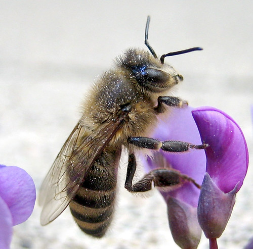 Furry Bee