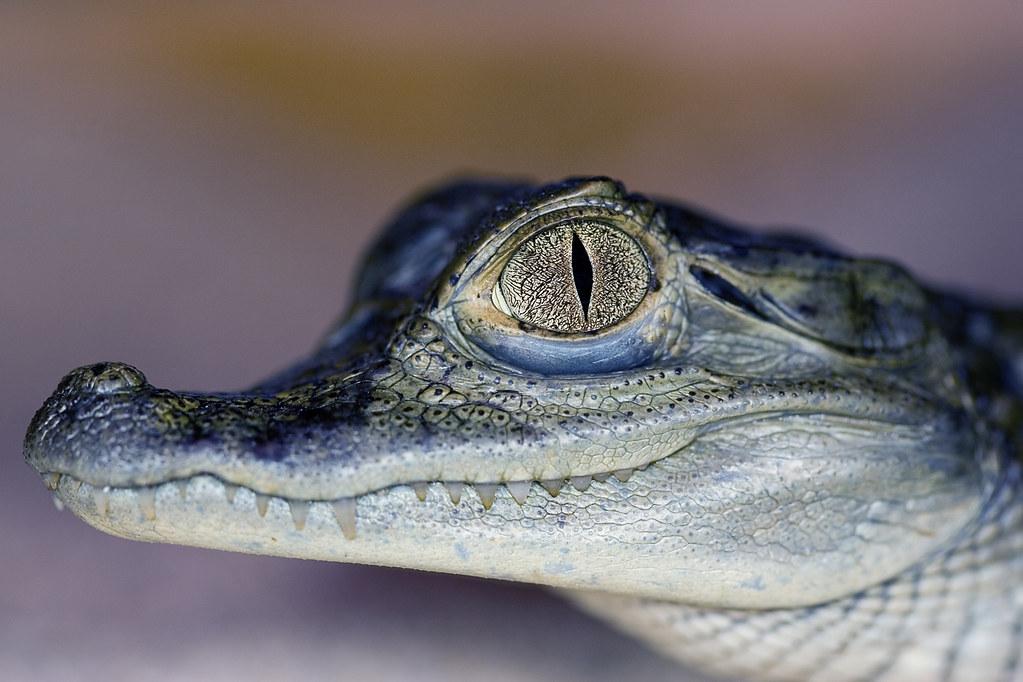 f0518313df20c Cayman Crocodile (DaraghOwens) Tags  dublin eye topv111 canon reptile teeth  100v10f 100mm crocodile