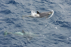 Two live Orca killer whales, Southern Ocean. (Greenpeace Esperanza) Tags: ocean sea nature animal animals greenpeace whale whales orca oceans southernocean whaling animali animale defender defending gpmn