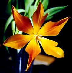 Flower burst (Jansen Mann) Tags: light sun flower photoshop fire bright vibrant warmth tulip sunburst alive rpsunday