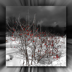 Fruits Sauvages* (Imapix) Tags: voyage travel winter red bw snow canada nature fruits clouds photo photographie quebec qubec mostinteresting neige shrubs imapix gatanbourque wilberries copyright2006gatanbourqueallrightsreserved  copyright2006gatanbourqueallrightsreserved pix50 imapixphotography gatanbourquephotography