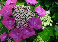 sun and shadow (Coanri/Rita) Tags: flowers nature purple natuur buds paars hortensia knoppen oneflower coanri