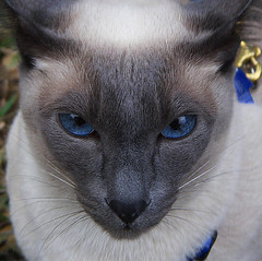 Rachel (birdyboo) Tags: blue cats cat siamese pentaxoptiowpi