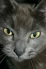 My cat PoPoki (Jenni Reynolds-Kebler) Tags: pet pets cat grey hawaii eyes 100views 70points