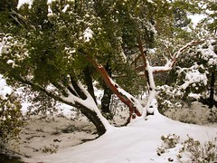 Ikaria 093 (isl_gr (Mnesterophonia)) Tags: winter mountain snow tree island mediterranean calendar hiking beautyconcealed ikaria  january aegean greece strawberrytree  caria   arbutusandrachne