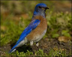 No everyday thing... (iwasfixin2) Tags: california blue bird birds ave bluebird irvine avian westernbluebird sialiamexicana ultimatesurvivor itsonginvite itsong–nikond2h