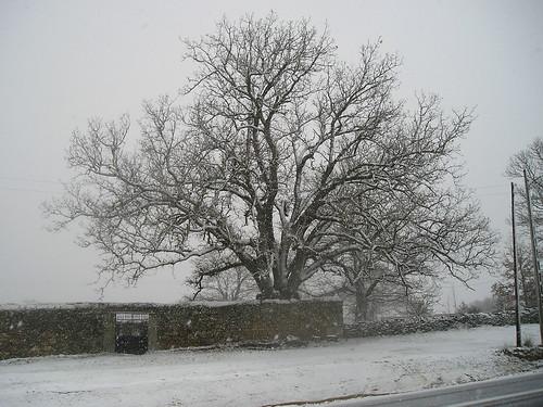 El roble con nieve