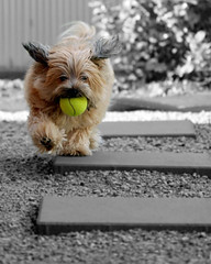 Fetch! [v2] (young_einstein) Tags: dog pet 20d topv111 yard canon ball garden fun play action edited running games hond run 100mm tennisball fetch selectivecolor selectivecolour