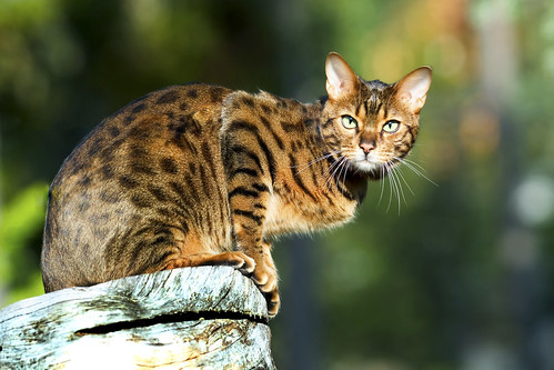 cute bengal cat pictures