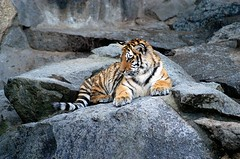 kid tiger (bea2108) Tags: beautiful animal animals zoo friedrichsfelde tiger bigcat