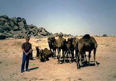 Entertaining Bored Camels (DennisSylvesterHurd) Tags: rocks desert camels saudiarabia taif dennishurd