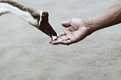 Friendship (_Massimo_) Tags: food hand friendship goose massimostrazzeri ziomamo gettynext